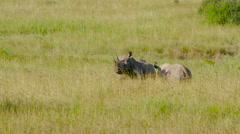 2 BLACK RHINO IN LONG GRASS NAIROBI KENYA AFRICA Stock Footage