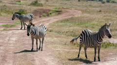 BURCHELL'S ZEBRA ON TRACK NAIROBI KENYA AFRICA Stock Footage