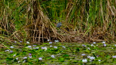 WATER LILLIES GREY HERON NAIROBI KENYA AFRICA Stock Footage