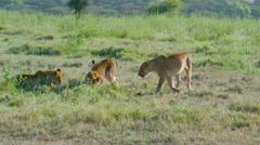 LION CUBS KILL NAIROBI KENYA AFRICA Stock Footage