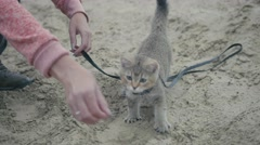 British Shorthair Tabby cat in collar walking on sand outdoor - plays with the Stock Footage