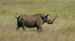 BLACK RHINO WALKING IN LONG NAIROBI KENYA AFRICA Stock Footage