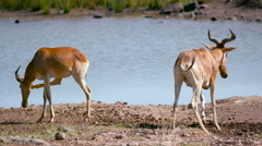 HARTEBEEST AT WATER HOLE NAIROBI KENYA AFRICA Stock Footage
