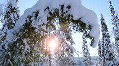 Spruce Bent under the Weight of Snow Stock Footage