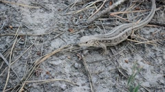 Lacerta agilis. Sand lizard on the ground in forest Stock Footage