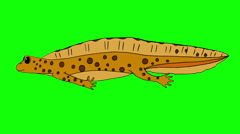 Yellow Newt Swimming Isolated Stock Footage