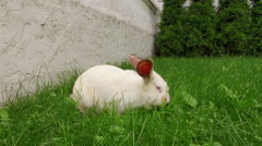 Domestic animal. White rabbit with red eyes eating a green grass on the lawn. 4K Stock Footage