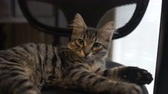 Cat lie on the Chair in the room - The pet comfortably settled to sleep Stock Footage