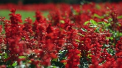 Salvia splendens. A field of red flowers. A flowerbed with red flowers Stock Footage