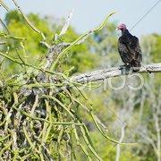Bird of prey, Cayo Sabinal, Camaguey Province, Cuba Stock Photos