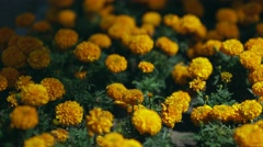 Marigold Flowers, Red Marigolds. Field with orange flowers. Landscaping Stock Footage