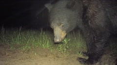 Rare color night  footage of large Black Bear (Ursus americanus) Stock Footage