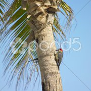 Woodpecker, Maria la Gorda, Pinar del Rio Province, Cuba Stock Photos
