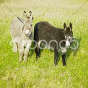 Donkeys, County Donegal, Ireland Stock Photos