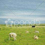 Cows, The Mullet Peninsula, County Mayo, Ireland Stock Photos