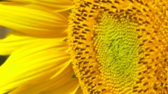 Sunflower blue sky bright sunny weather close up 4k  natural energy organic  Stock Footage