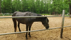 Farm animals. One gray with white spots horses walking in the paddock. 4K Stock Footage