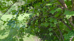 The tree with the fruits of blackcurrant Stock Footage