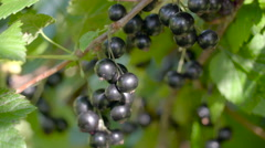 Lots of blackcurrant berries on the stem Stock Footage