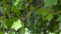 Many blackcurrant berries bearing on the tree Stock Footage
