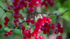 Closer look of the shiny redcurrant fruit Stock Footage