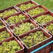 Harvested grapevines, Livi Dubnany, Czech Republic Stock Photos