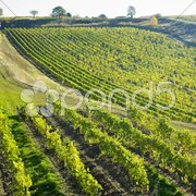 Vineyard Ulehle, Livi Dubnany, Czech Republic Stock Photos
