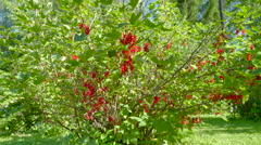 The yard with lots of redcurrant shrubs Stock Footage