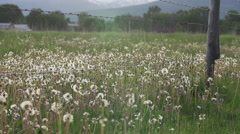 Field of dandelion seed heads Stock Footage