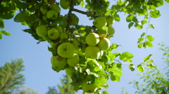 The green fruits of the unripe red currant Stock Footage