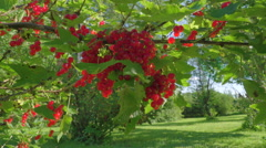 The red currant shrub on the big yard Stock Footage