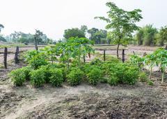 Homegrown vegetable garden with the papaya tree. Stock Photos