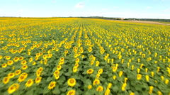 Aerial view of sunflower field Stock Footage
