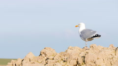 Seagull with one leg flies away Stock Footage