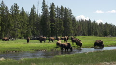Herd of bison drinking from brook Stock Footage
