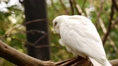 Little Corella Parrot Climbing - Cacatua sanguinea. Stock Footage