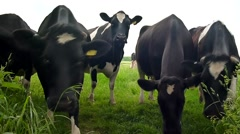 Frisian cows being inquisitive approaching camera Stock Footage
