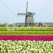 Windmill with tulip field near Sint-Maartens-vlotbrug, Netherlands Stock Photos