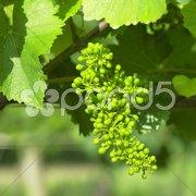 Unripe grapevine, Czech Republic Stock Photos