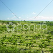 Vineyard called Peklo, Znojmo Region, Czech Republic Stock Photos