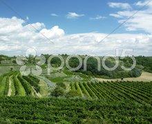 Vineyard, Eko Hnizdo, Czech Republic Stock Photos