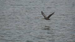 Side view of cormorant flying in slow motion Stock Footage