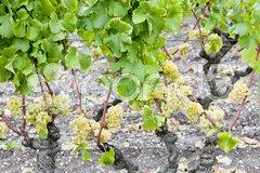 White grape in Sauternes Region, Aquitaine, France Stock Photos
