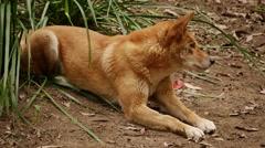 Dingo - Canis lupus dingo stalks its prey. Stock Footage