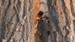 Wasp nest in a tree trunk Stock Footage