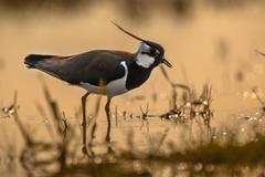 Back lit Male Northern lapwing Stock Photos