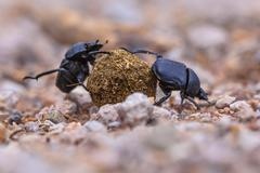Two moiling strong dung beetles Stock Photos