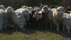 Livestock roaming on spring Stock Footage
