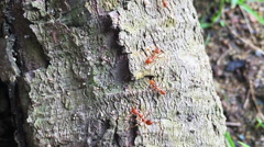 Tropical ants in the wild Stock Footage