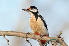 Closeup of great spotted woodpecker in the garden ( Dendrocopos major ) Stock Photos